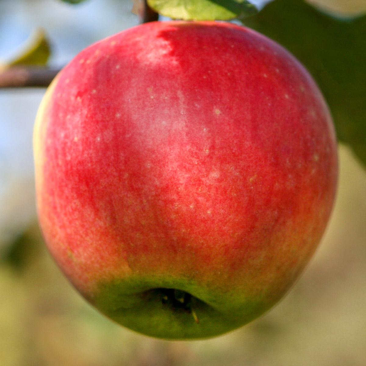 Яблоня штамбовая «Услада» на клоновом подвое 54-118